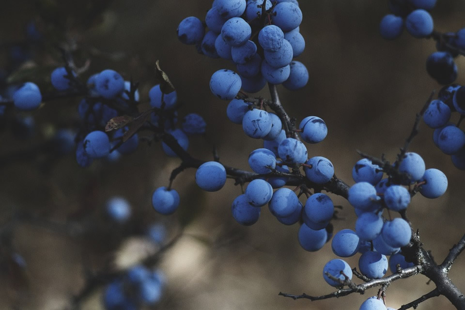 arandanos azules